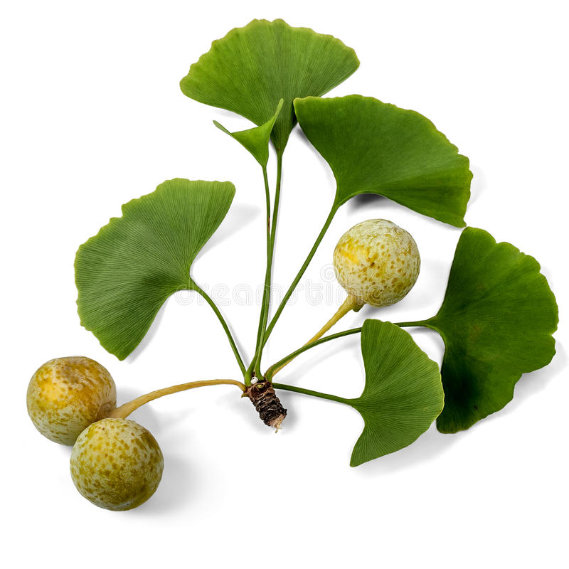 Ginkgo Biloba For ED - Close Up of Plant