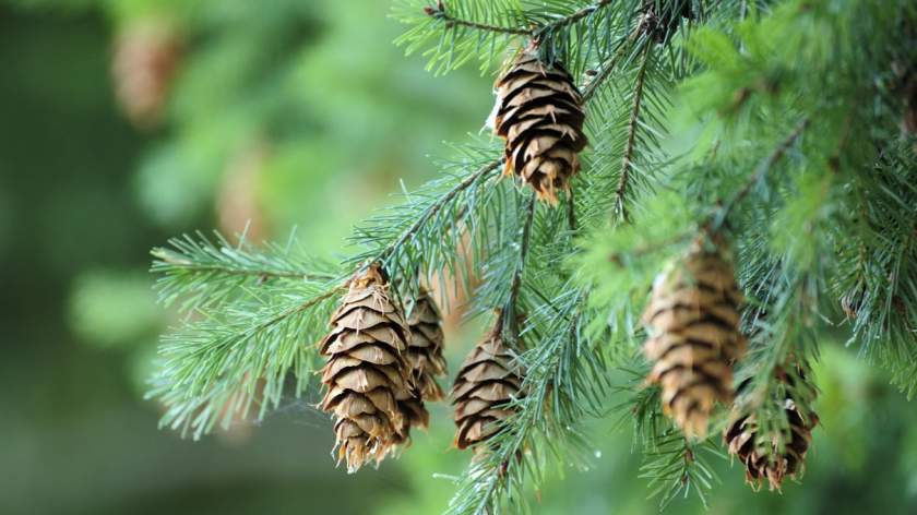 Pycnogenol For Impotence - Pine Tree With Cones